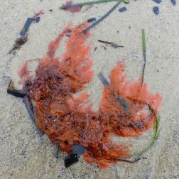 Orange seaweed washed ashore on sand