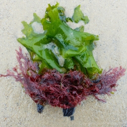 Studland Middle Beach 10Green and red seaweeds on the sand