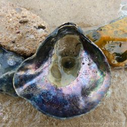 Saddle Oyster Shell washed up on sand