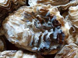 Crassostrea oyster shells