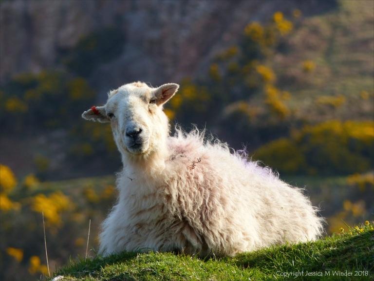 A Sheep On Rhossili Down