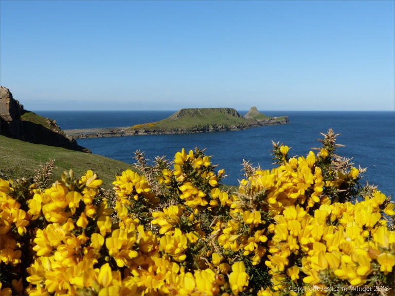 Worms Head With Gorse Flowers