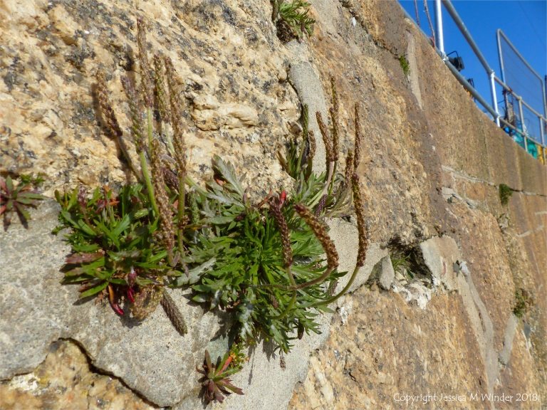 Plants growing on a stone wall at St Ives in Cornwall