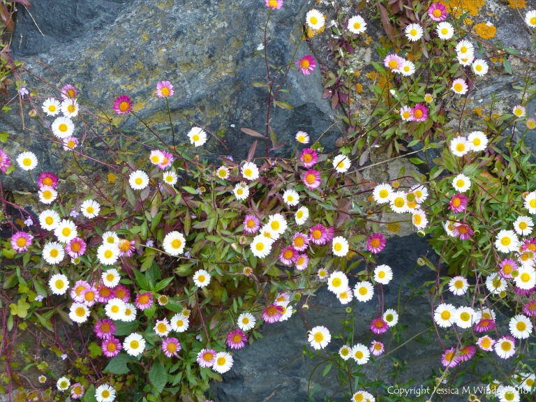 Daisy-like flowers growing on a wall
