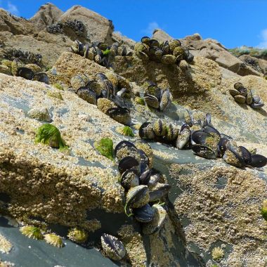 Common edible mussels and acorn barnacles living on rocks at the seaside