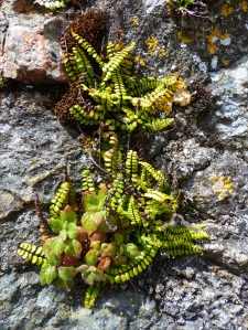 Ferns growing on a wall in St Ives
