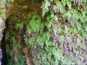 Ferns growing on rocks around a Wheal Providence mine adit at Carbis Bay