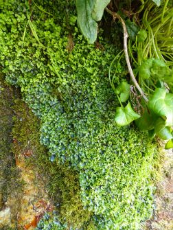 Mostly liverworts growing on rocks around a Wheal Providence mine adit at Carbis Bay