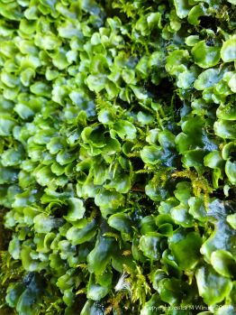 Liverworts growing on rocks around a Wheal Providence mine adit at Carbis Bay