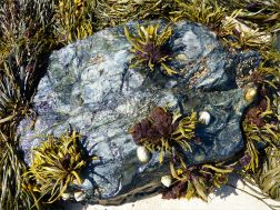 Common British seaweeds on the beach in spring