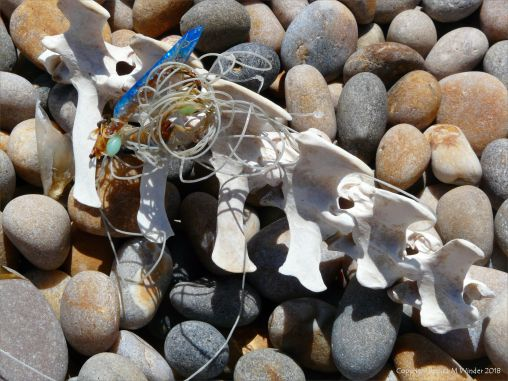 Bleached backbone and nylon fishing line washed up on a pebble beach