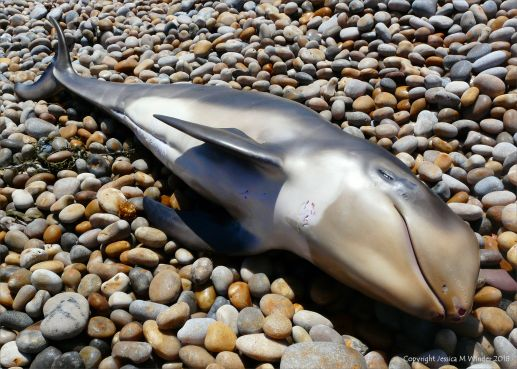 Dead baby Risso's dolphin washed up on a pebble shore