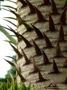 Close-up detail of a monkey puzzle tree trunk