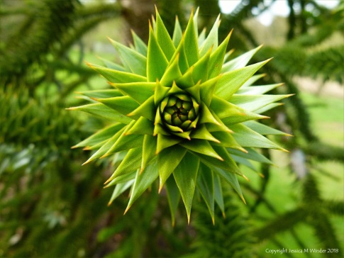 Close-up detail of a monkey puzzle tree branch