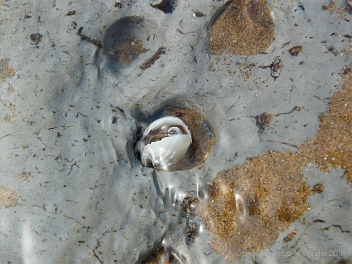 Piddock burrow with shells in marine clay at Broughton Bay