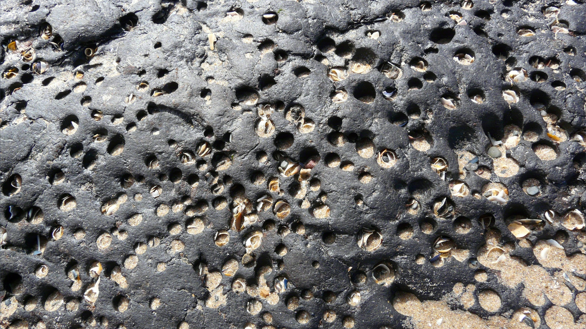 Ancient shoreline peat beds with numerous holes made by burrowing bivalve piddocks