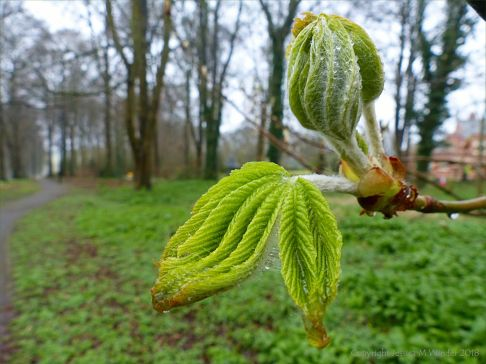 Leaves unfolding from the sticky-bud of a horse chestnut tree