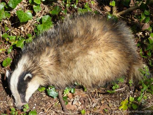 Dead badger (Meles meles)