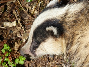 Close-up of the head of a dead badger