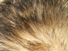 Close-up of hairs on a badger (Meles meles)