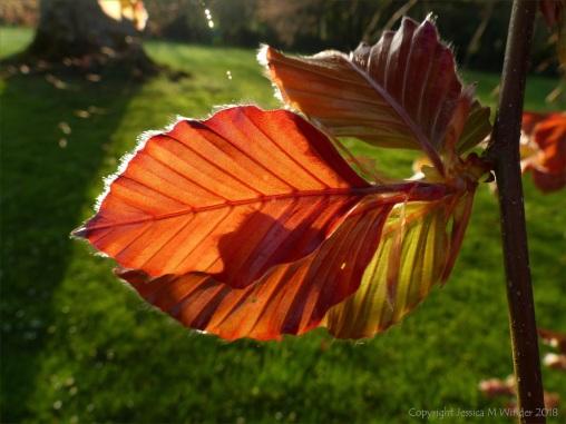 Newly opened purple beech leaves