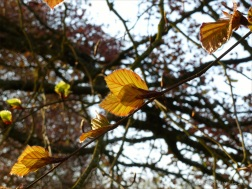 Newly opened purple beech leaves