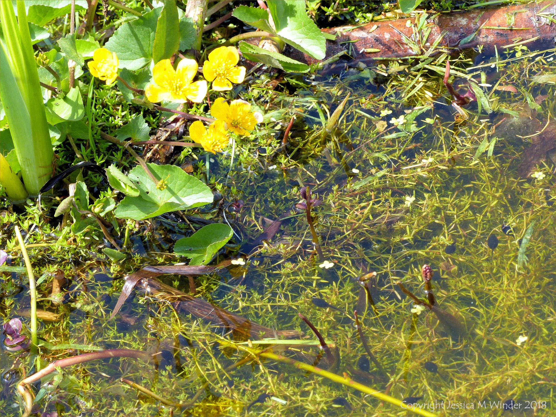 Tadpoles that will grow into toads