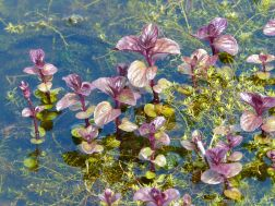 Aquatic plants in the village pond