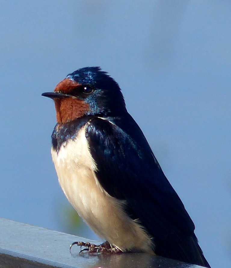 Resting swallow close-up