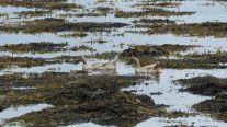 Domestic ducks swimming in the sea with seaweed