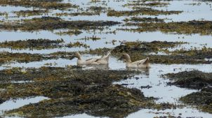 Domestic ducks swimming in the sea with seaweed