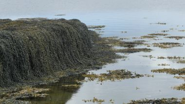 Seaweed -draped old stone jetty in Bay of Firth, Orkney