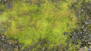 Bright green seaweed on a stony seashore