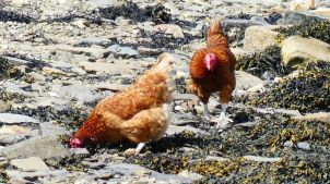 Domestic chickens on the beac