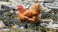 Chicken looking for food on the island of the seashore iOrkney
