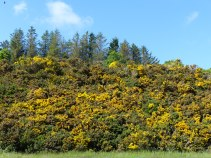 Yellow gorse cloaking steep hillside