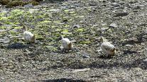 Domestic ducks on the beach