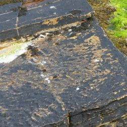 Upper Stromness Flagstone with fossil ripples Fulmar on the cliff top at Point of Hellia in Orkney