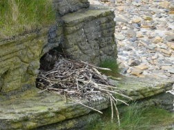 Fulmar nest on artificial cliffs at Point of Hellia in Orkney