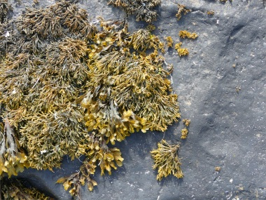 Seaweed growing on Upper Stromness Flagstone with black biofilm at Point of Hellia in Orkney