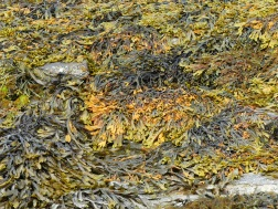 Seaweed at Point of Hellia in Orkney