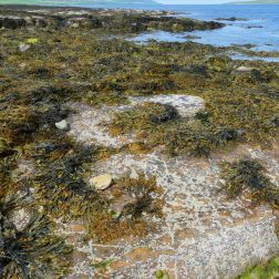 Seaweed and sand covered flagstone on the beach at Point of Hellia in Orkney