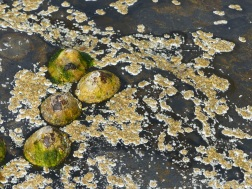 Limpets and barnacles on rock covered with black biofilm at Point of Hellia in Orkney