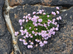 Sea thrift flowers on rock at Point of Hellia in Orkney