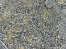 Close-up detail of pseudomorph patterns in Upper Stromness Flagstone