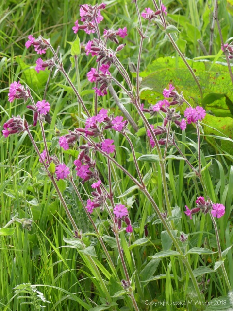 Red campion at the top of Grit Ness beach