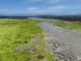 Expanses of bright green gut-weed at Grit Ness