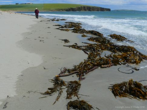 Kelp on the strandline at Dingieshowe Bay
