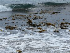 Broken kelp in the sea at Dingieshowe Bay
