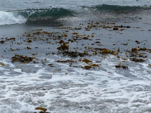 Broken kelp in the sea at Dingieshowe Bay